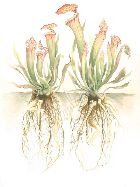 Lindsay-Stapleton-Pitcher-Plant